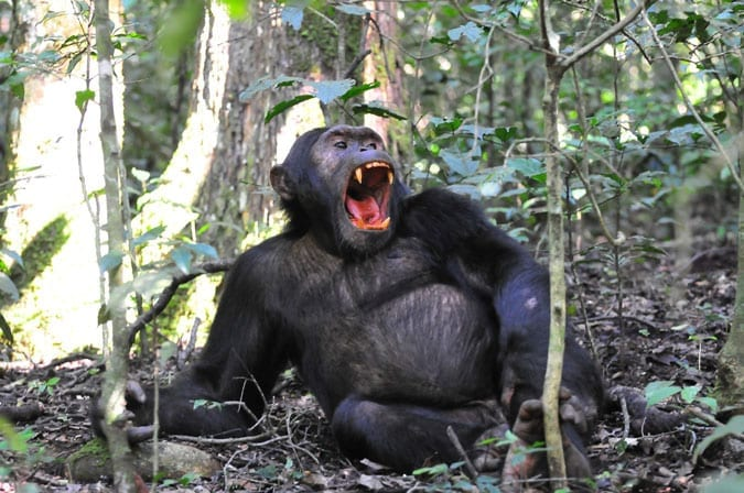 Chimpanzee seen on this Uganda Birding Tour