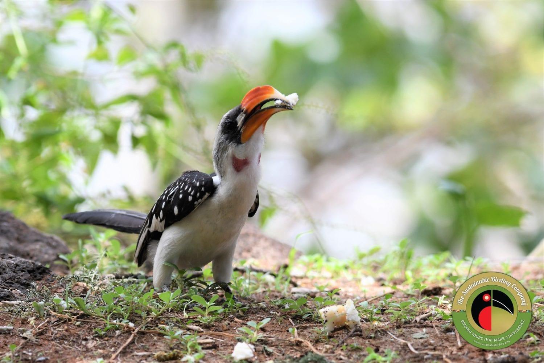 Jackson's Hornbill seen on our Kenya birding tours