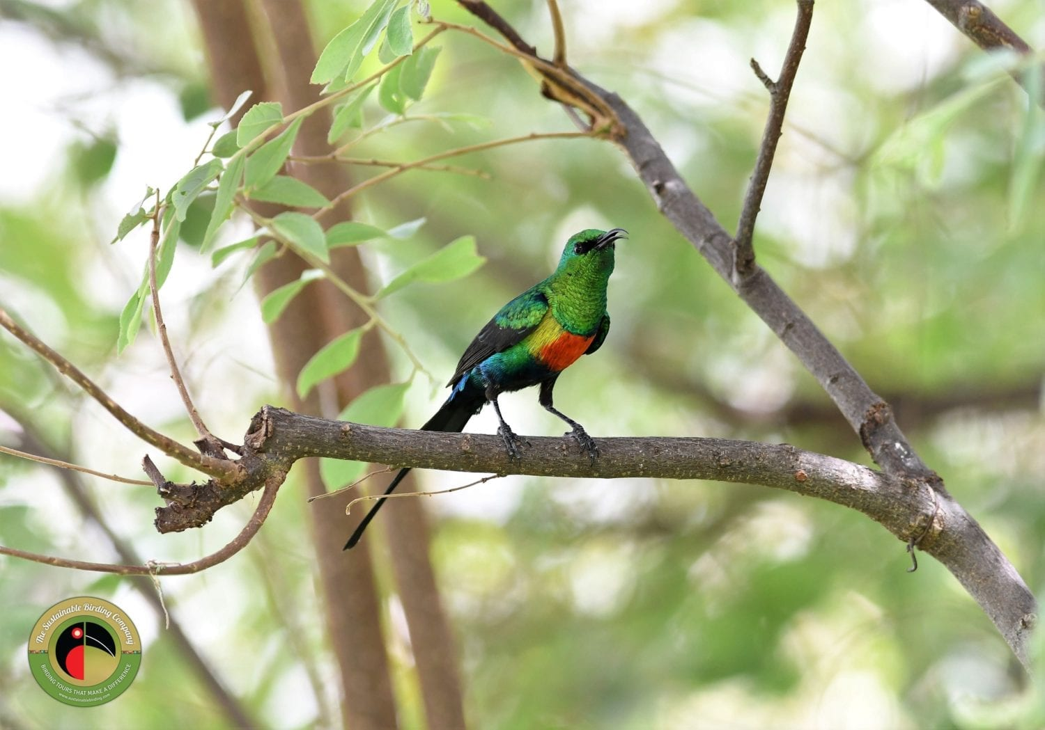 See the Beautiful Sunbird on this Kenya Birding Tour