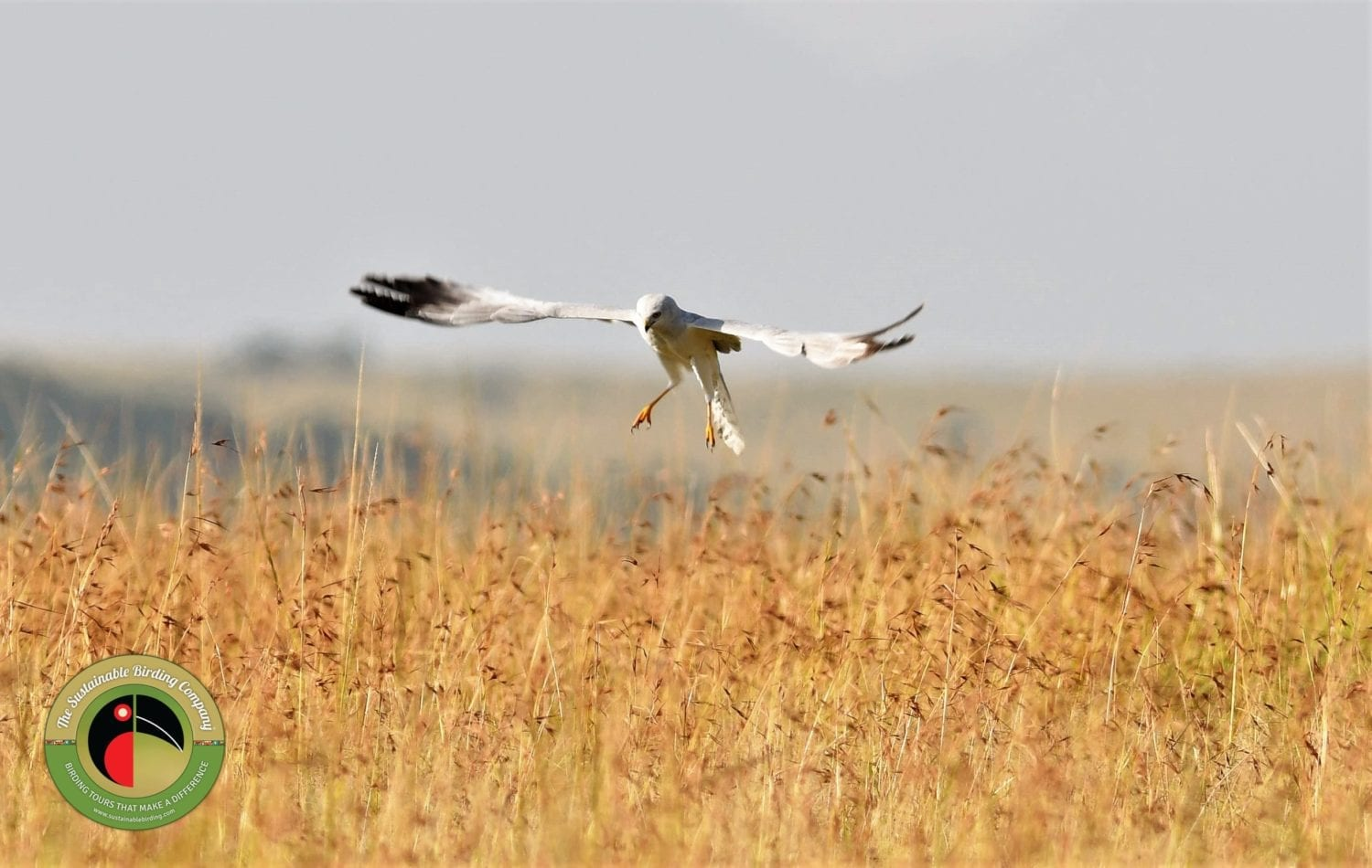 The Montagu's Harrier seen on this Kenya Birding Tour