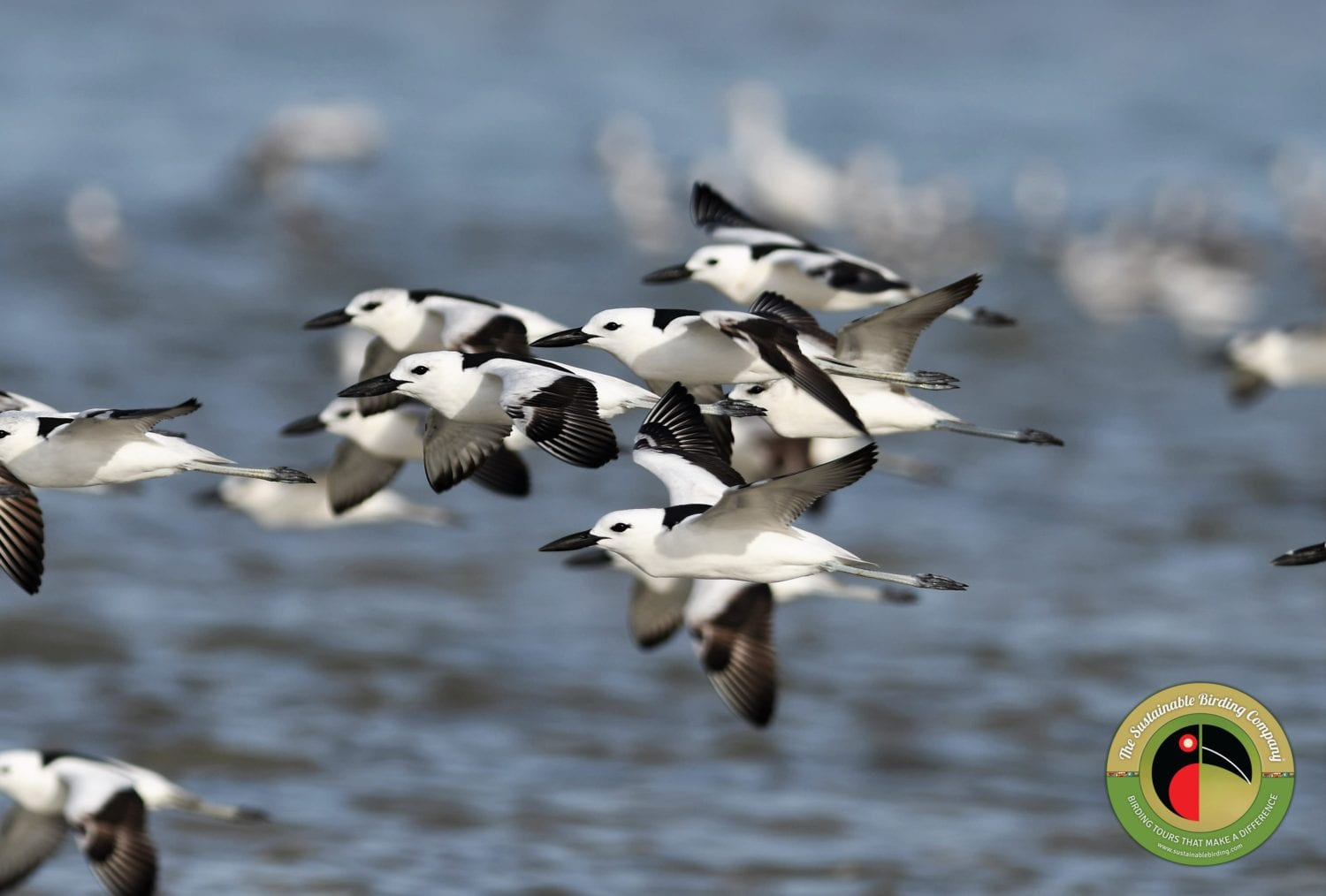 The beautiful Crab Plover seen on our Kenya Birding Tours