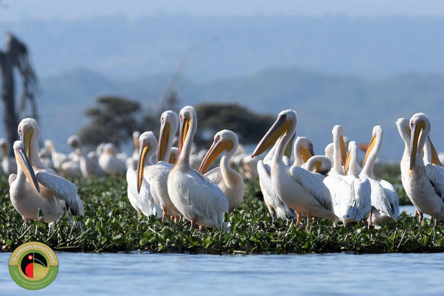 Huge flocks of Great White Pelicans can be seen on our Kenya Birding Tours