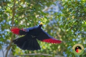Ross's Turaco seen on our Uganda Bird Photography Tours Birding Tours