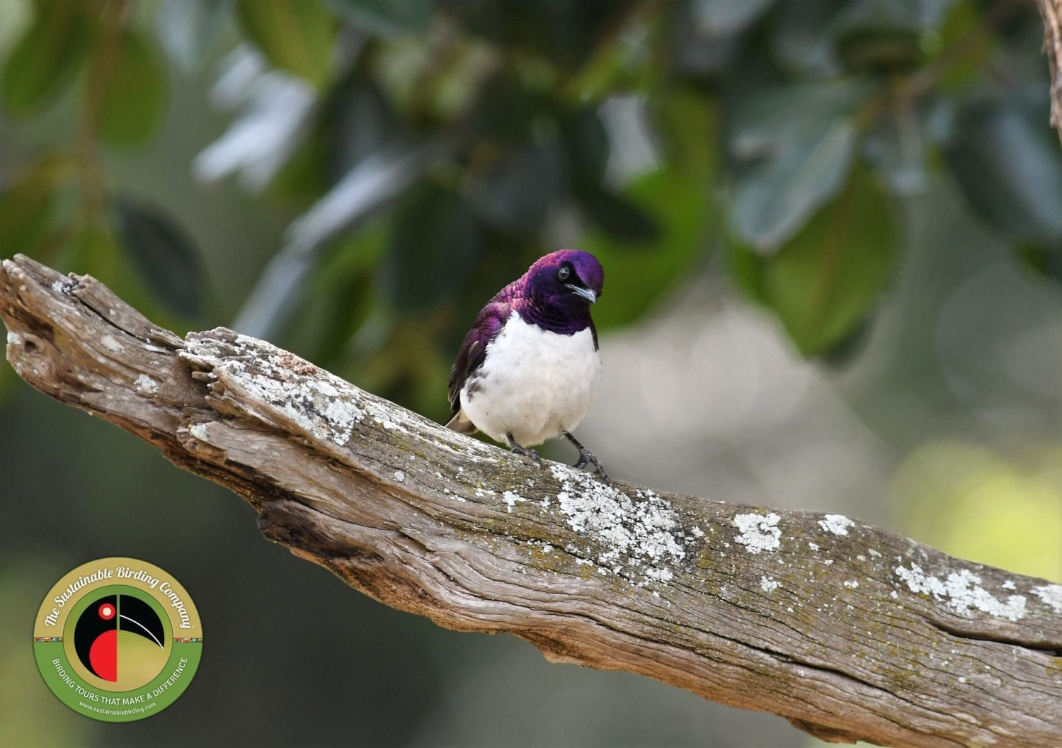 The gorgeous Violet-backed Starling seen on our Kenya Birding Tours