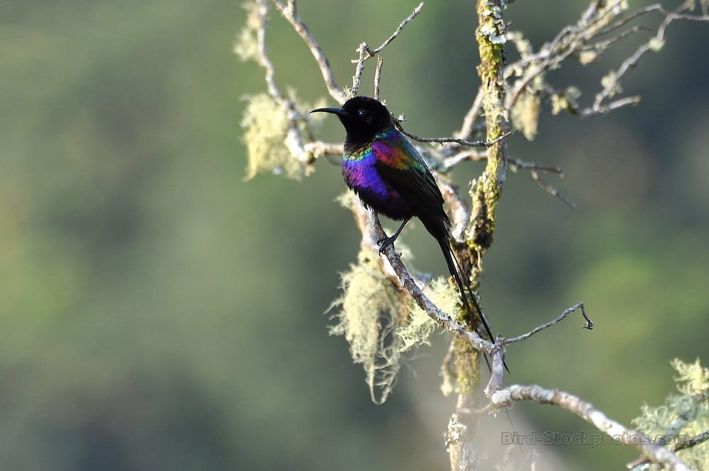 Purple-breasted Sunbird seen on our Uganda Birding Tours