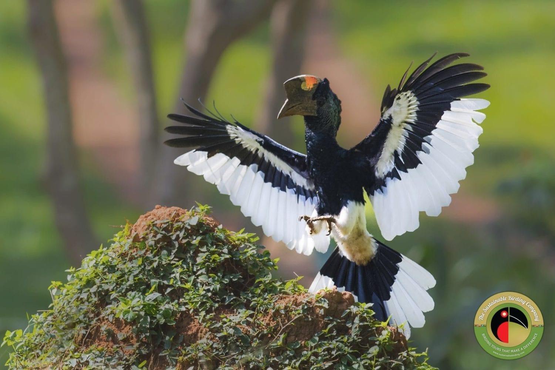 Black-and-white-casqued Hornbill seen on our Uganda Birding Tours