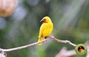 African Golden Weaver seen on our Uganda Birding Tours and Kenya Birding Tours