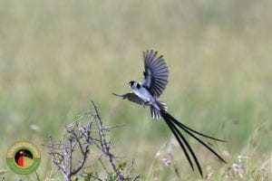 Pin-tailed Whydah seem on our Uganda Birding Tours