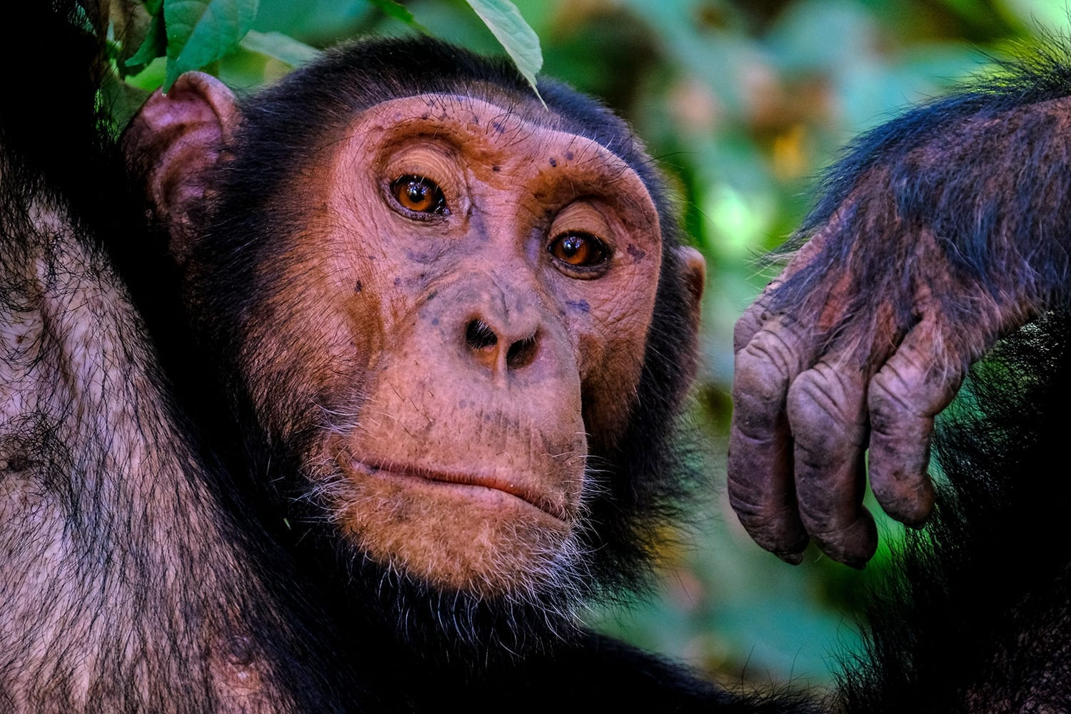 See Chimpanzees on our Uganda Birding Tours