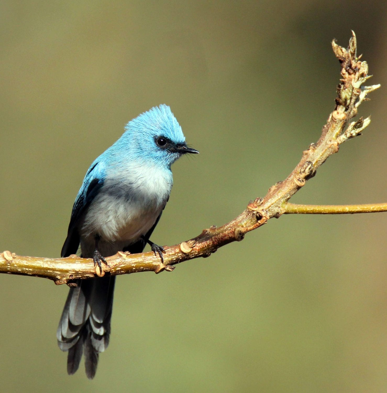 This vivid African Blue Flycatcher can be see on both our Kenya Birding Tours and Uganda Birding Tours