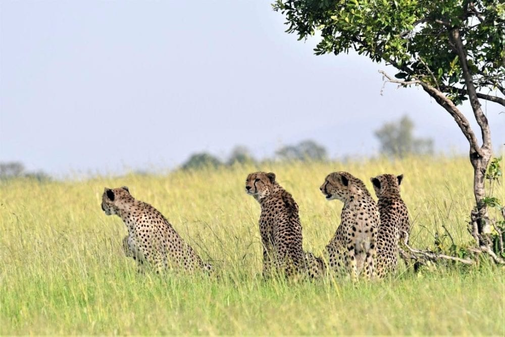 Beautiful cheetahs seen on our Masai Mara National Reserve Birding Tour