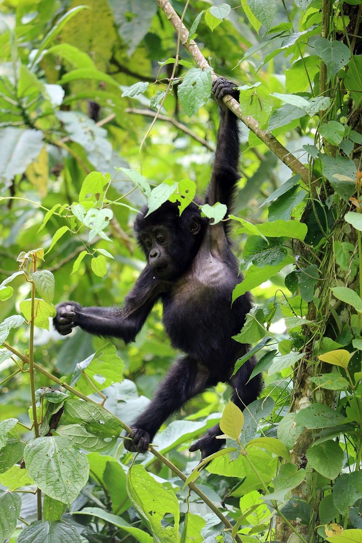 See the Mountain Gorilla on our Uganda Birding Tours