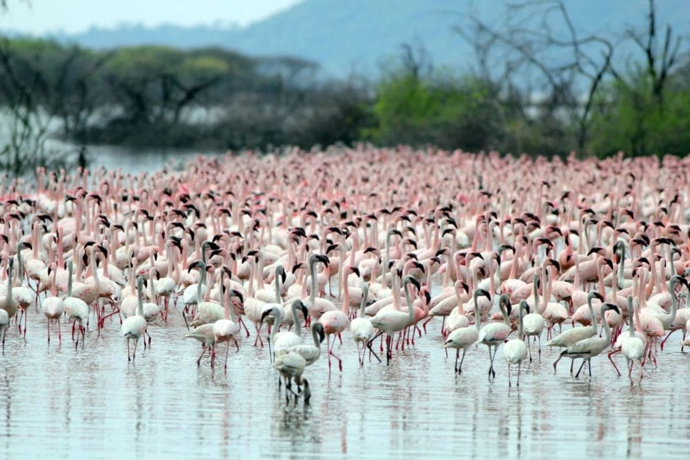 Beautiful flamingos on our Kenya Birding Tours and Uganda Birding Tours