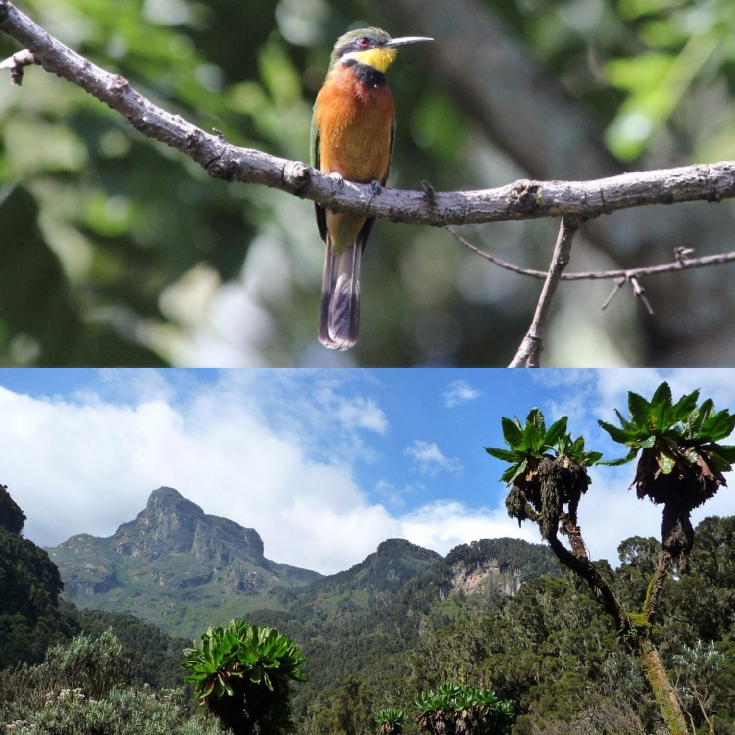 Join us at Rwenzori National Park on our Uganda Birding Tours