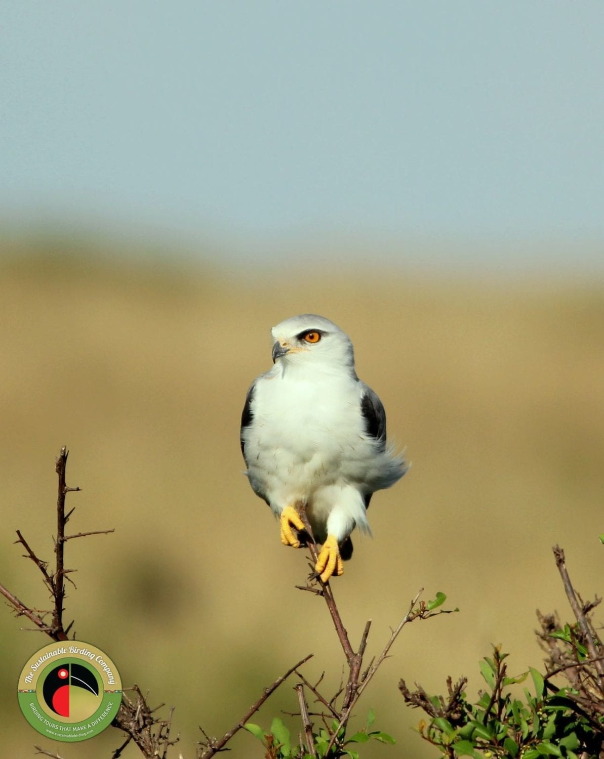 Black-shouldered Kite on our Uganda Birding Tours and Kenya Birding Tours
