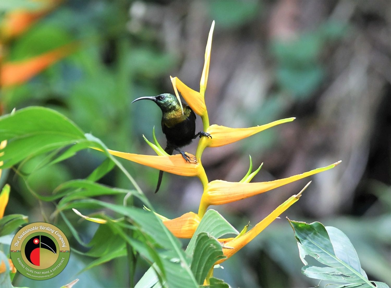 Lovely Bronze Sunbird seen on our birding tours in Uganda