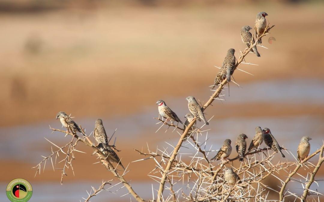 Cut-throat Finch 🔪