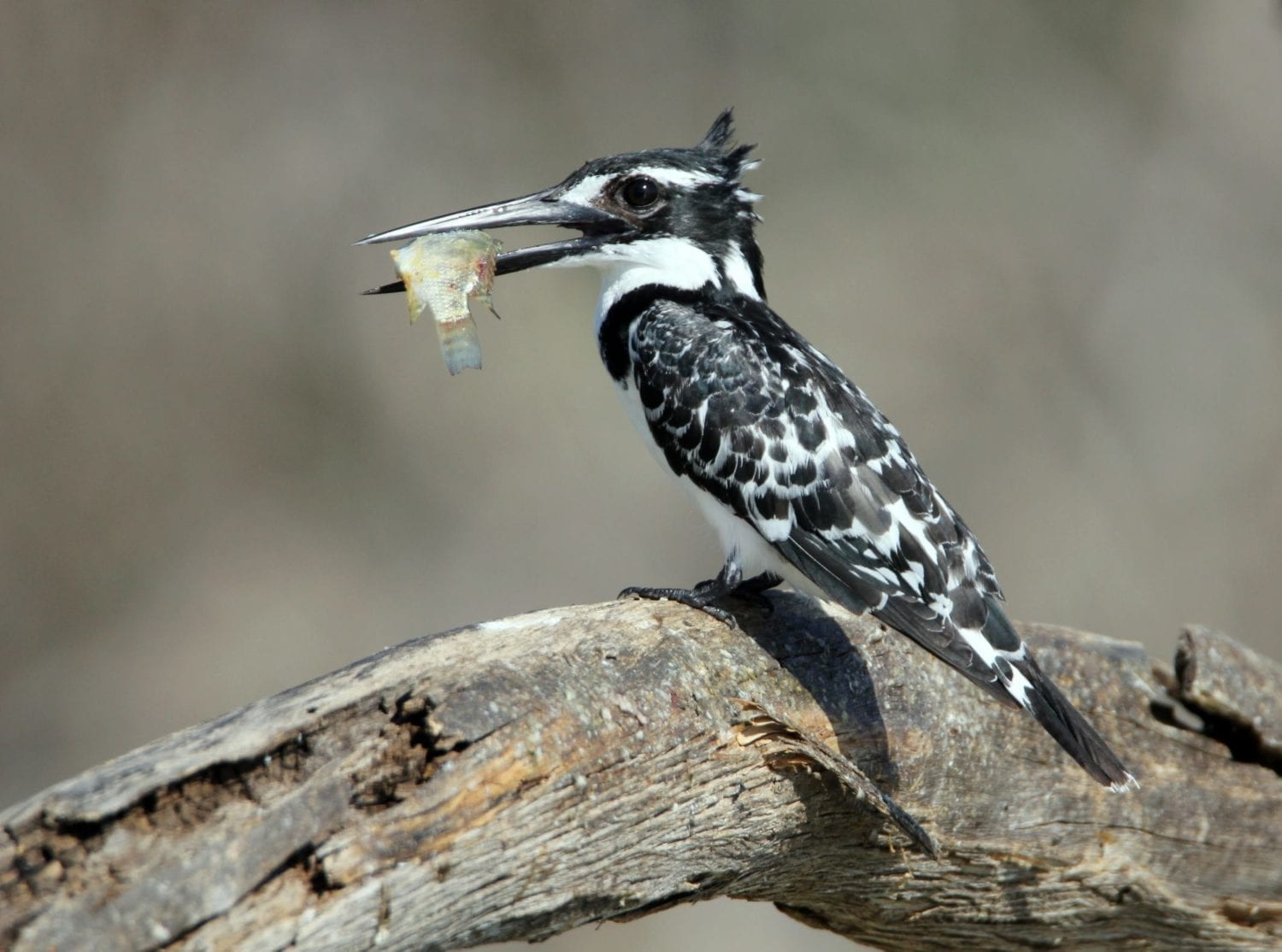 Pied Kingfisher seen on our Uganda Birding Tours