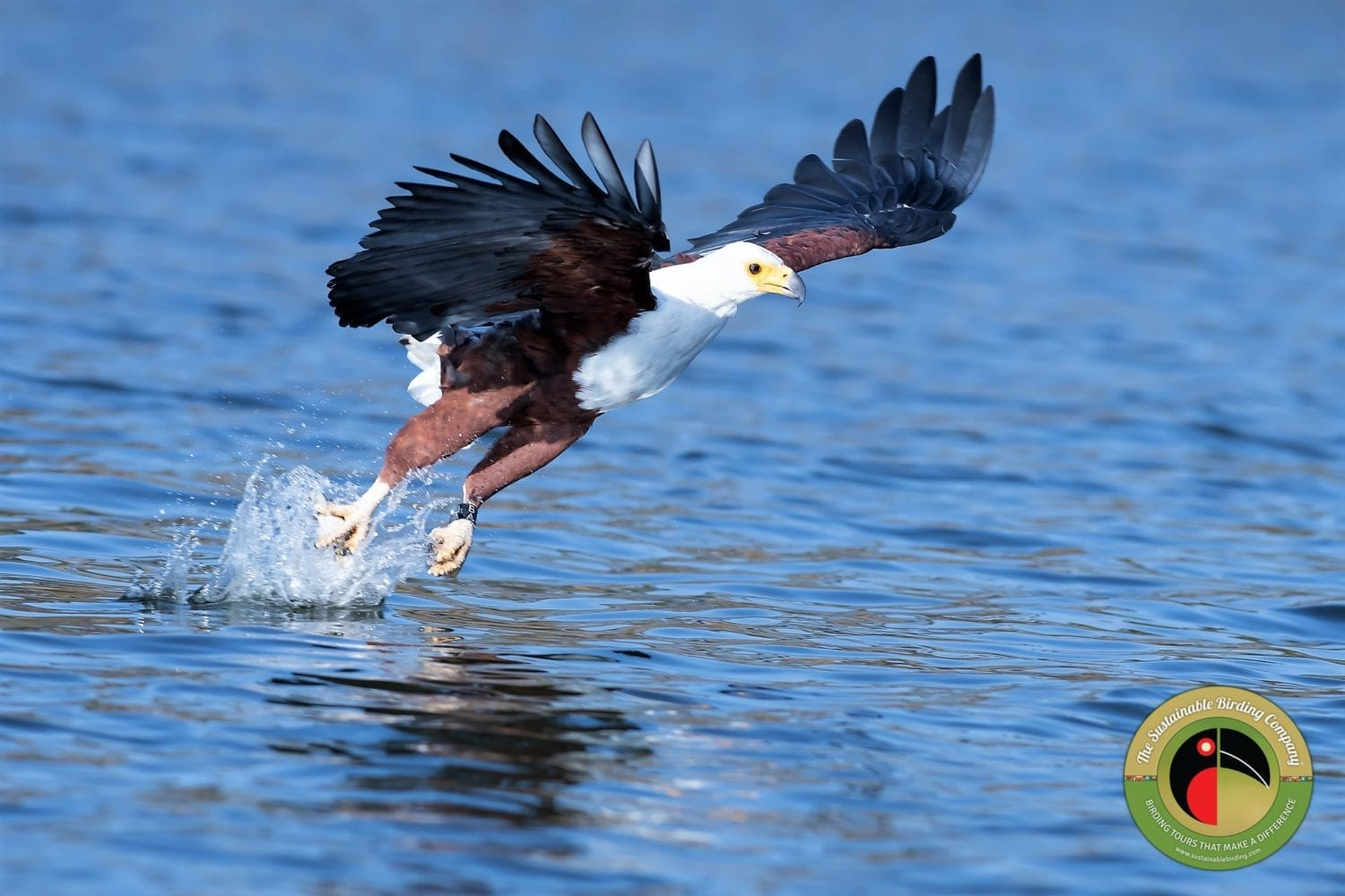 The African Fish Eagle catching it's lunch on our Kenya Birding Tour