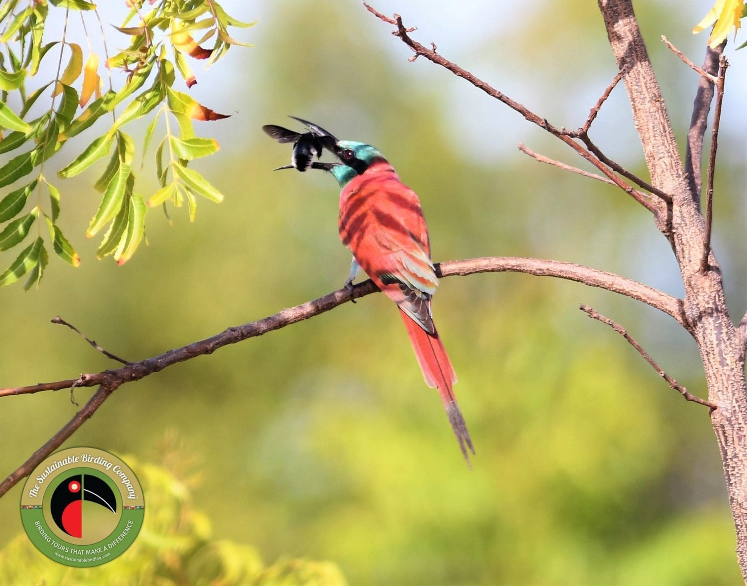 See the Northern Carmine Bee-eater on our Kenya Birding Tours