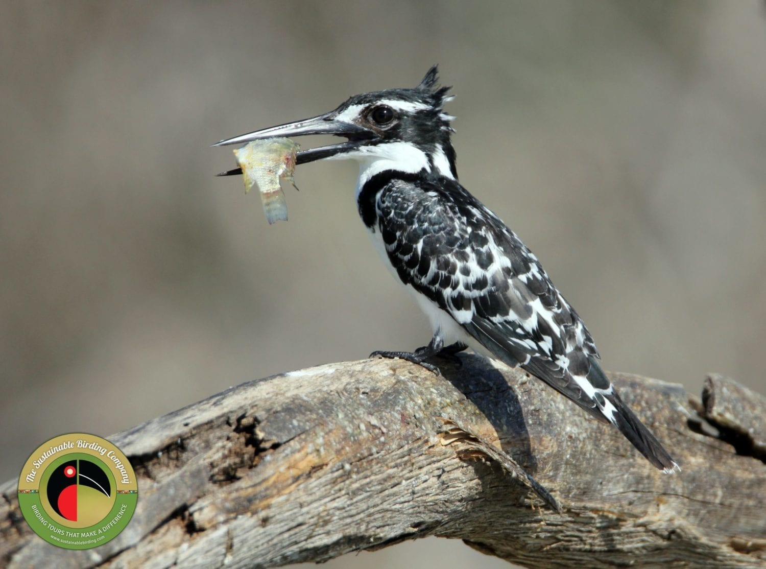 Pied Kingfisher with it's dinner on our Kenya Birding Tours