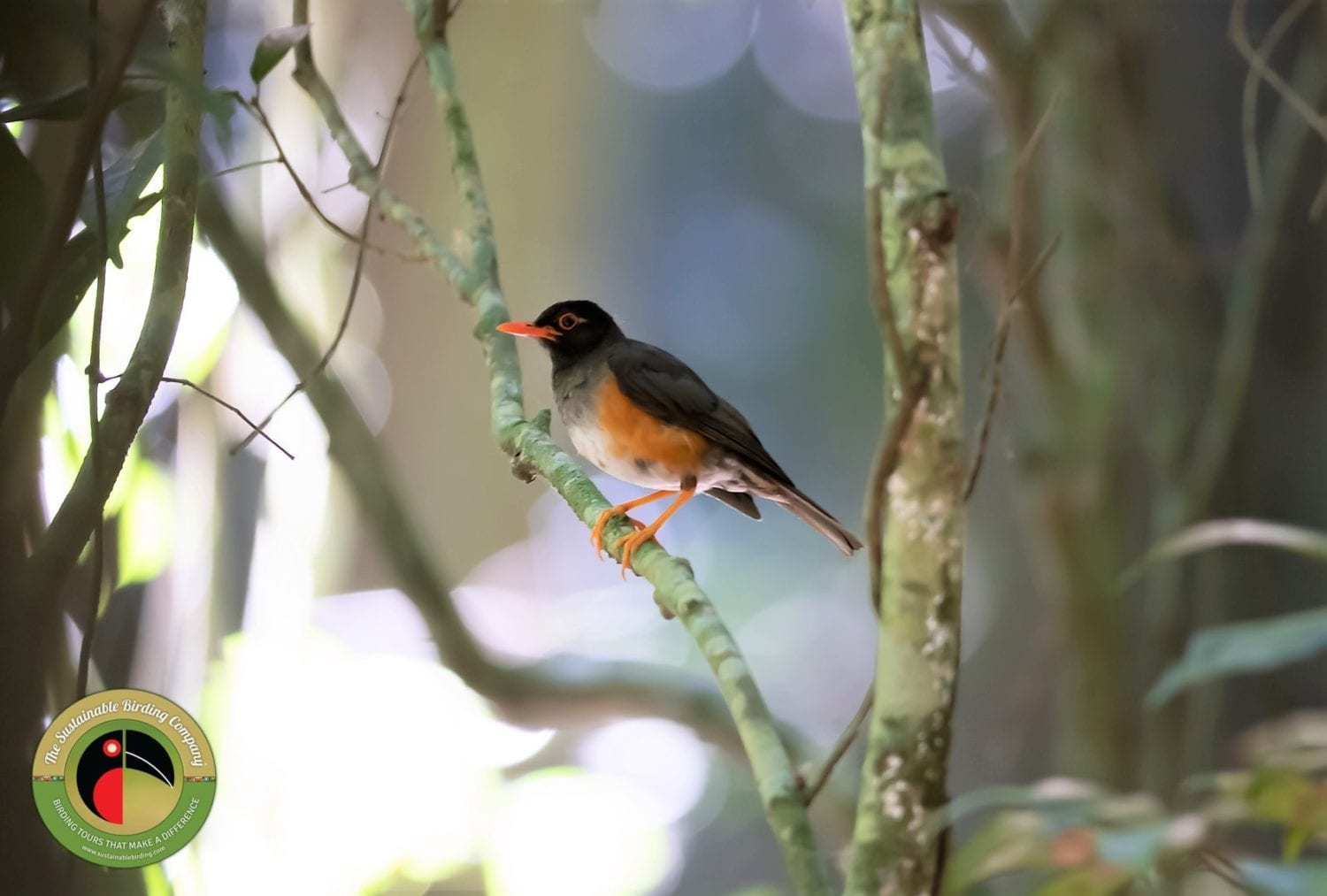 Kenya endemic species the Taita Thrush seen on our birding tours