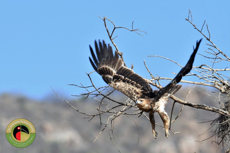 Tawny Eagle on our Kenya Birding Tours