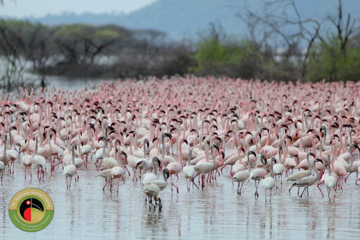Huge flocks of Flamingo seen on our Kenya Birding Tours