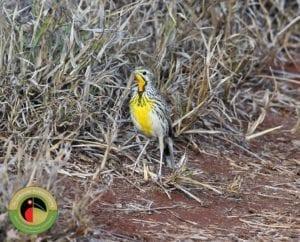 Pangani Longclaw is regularly seen on our Kenya Birding Tours