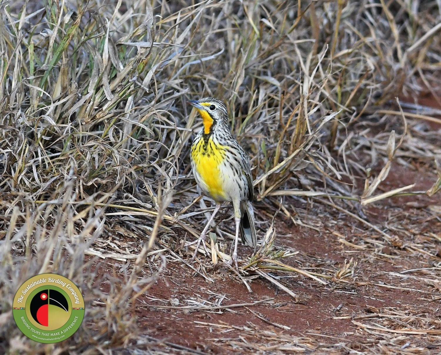 Pangani Longclaw is regularly seen on our Nairobi National Park Birding Tour