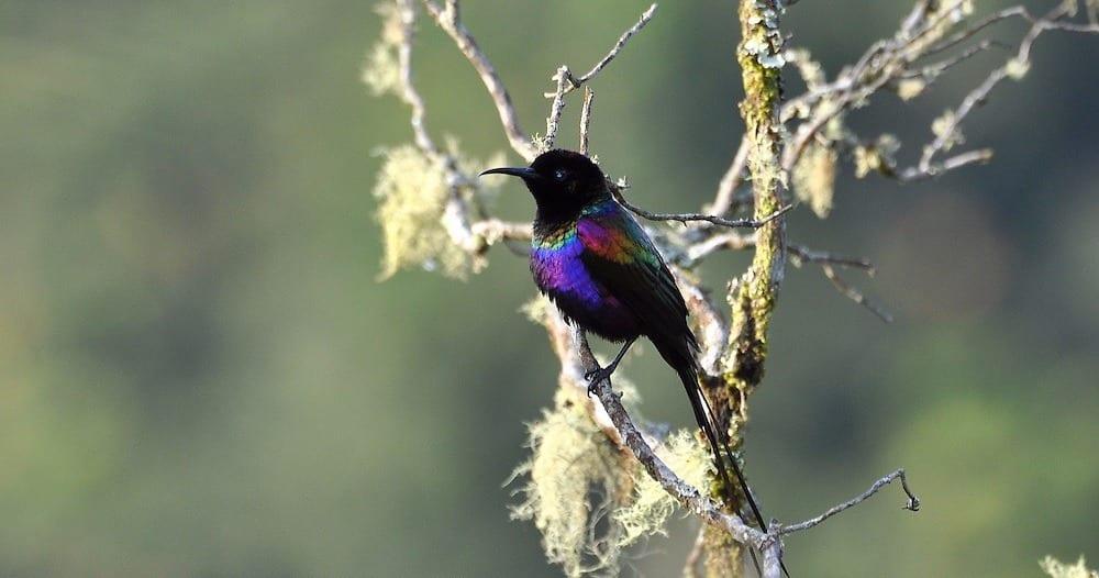 Bwindi Impenetrable, Uganda Birding Tours