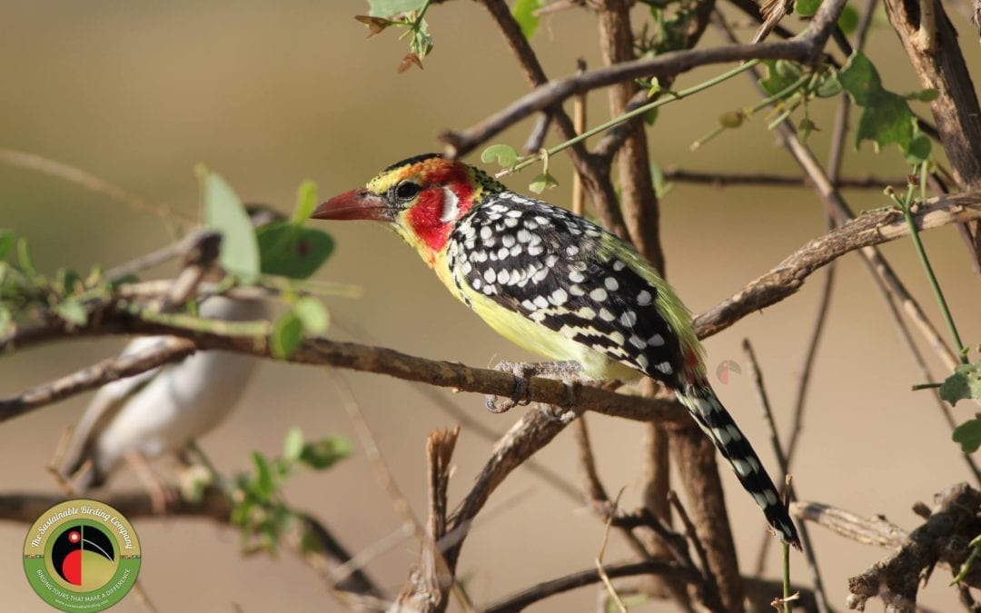 Red-and-yellow Barnet seen on our birding tours in Ethiopia