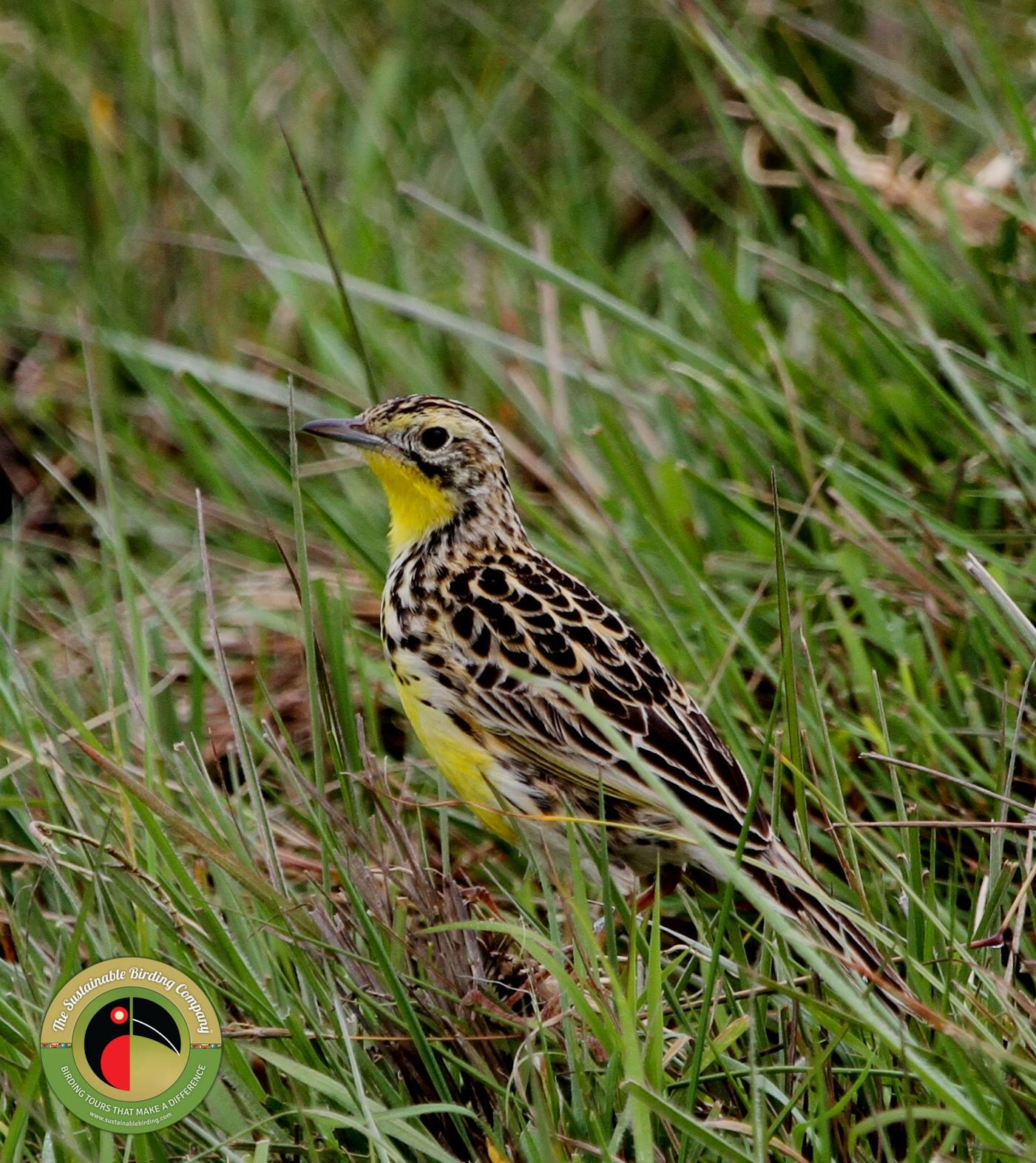 Kenya endemic the Sharpe's Longclaw, found on our Kenya Birding Tours