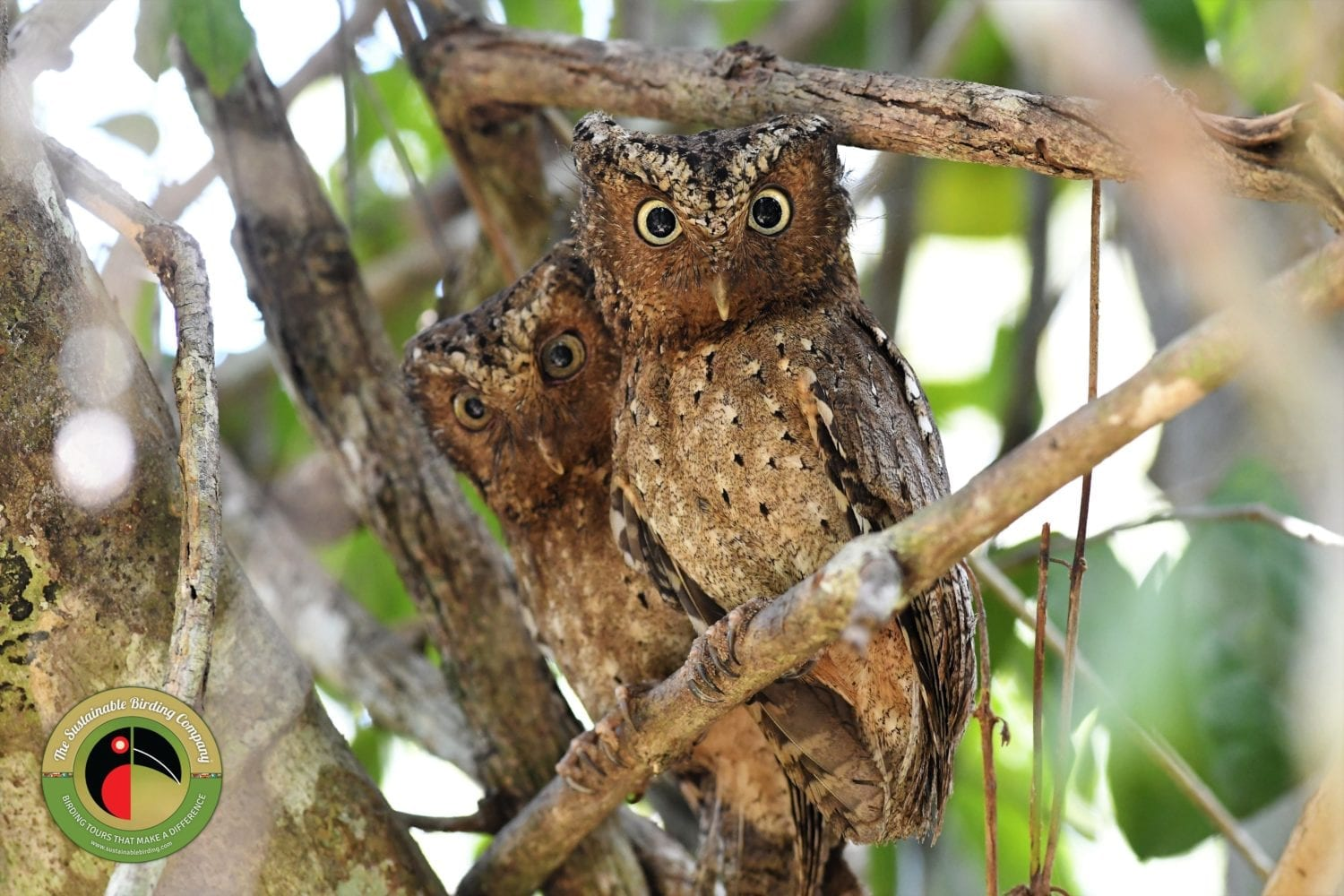 Kenyan endemic the Sokoke Scops Owl seen on our Kenya Birding Tours