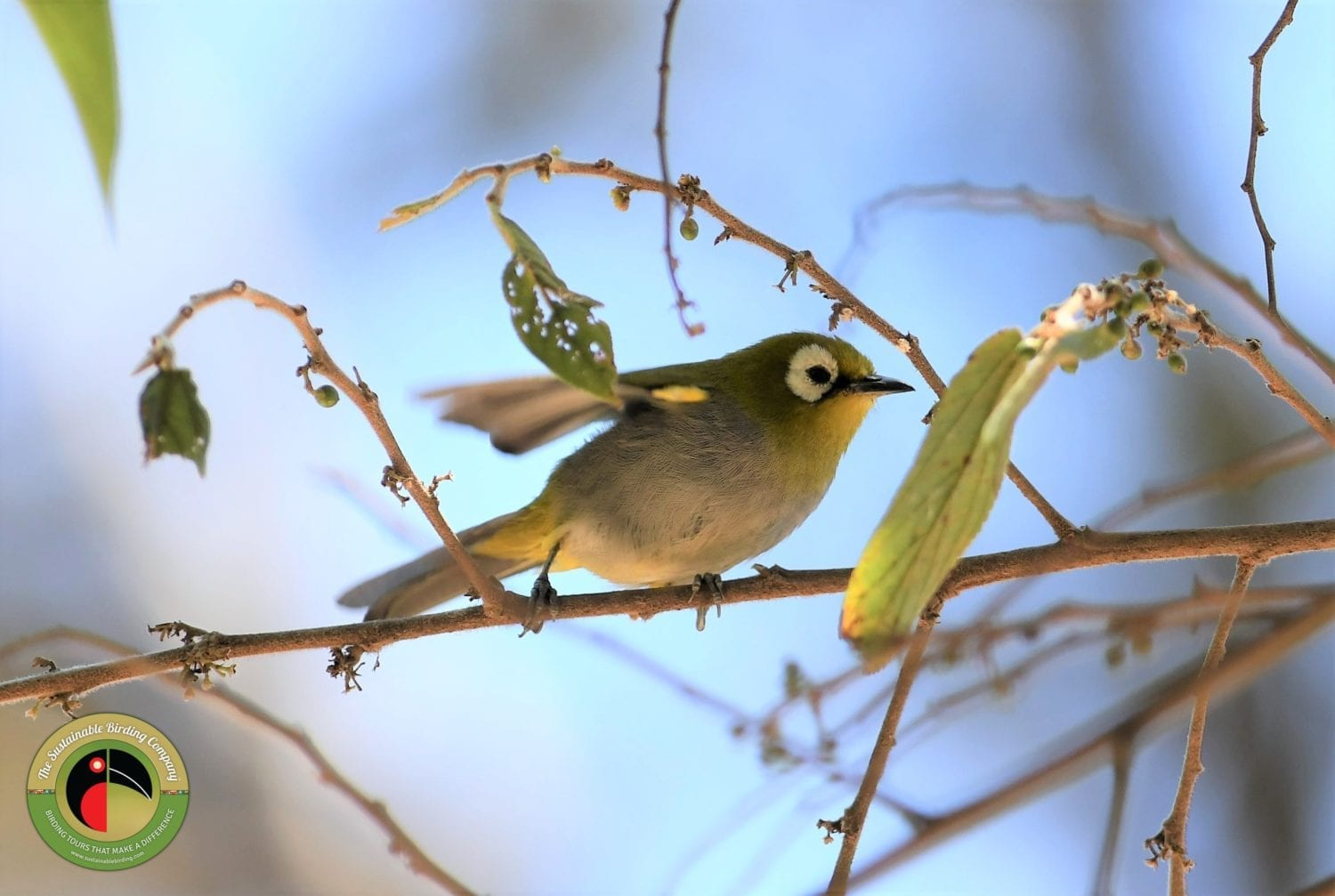 Taita White-eye seen on our Kenya Birding Tours