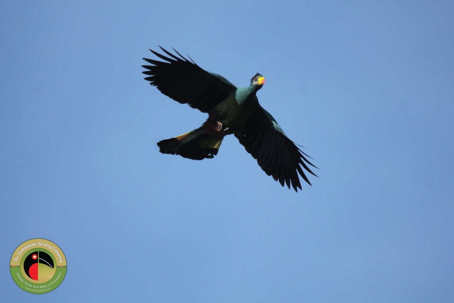 The well sought-after Great Blue Turaco can be seen on our Uganda Birding Tours