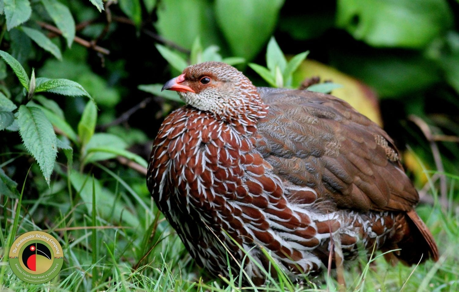 Jackson's Francolin can be seen on our birding tours in Uganda
