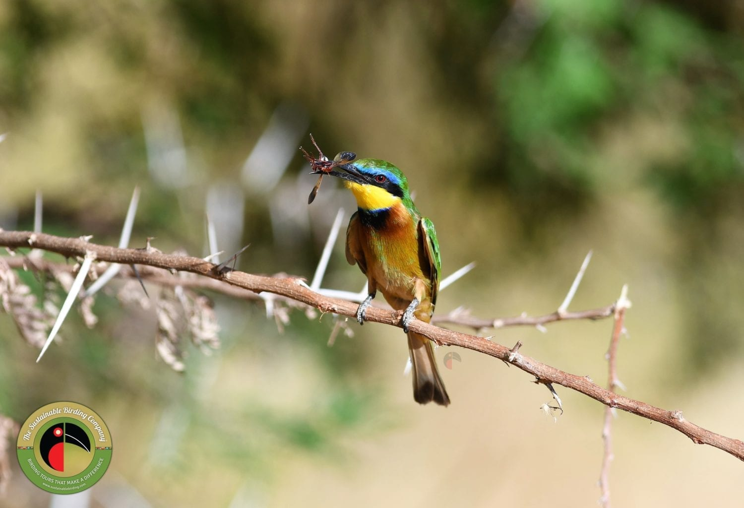 Little Bee-eater on our birding tours in Uganda