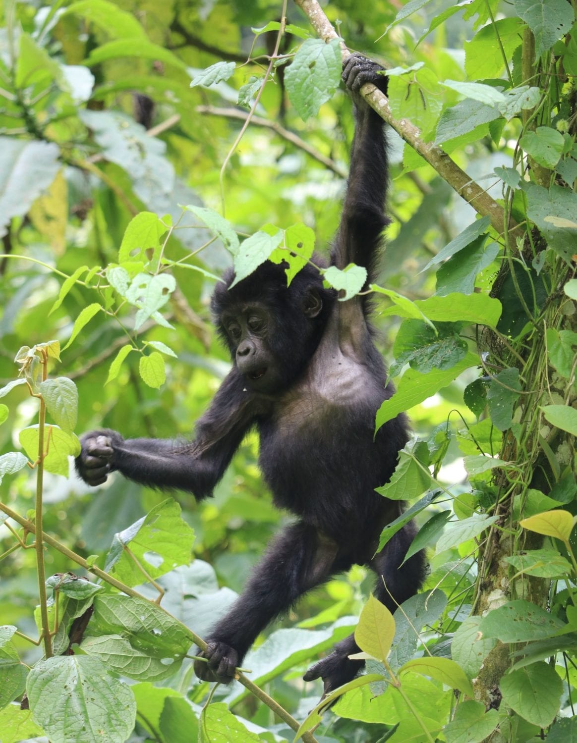 Juvenile Mountain Gorilla seen on our Uganda Birding Tours