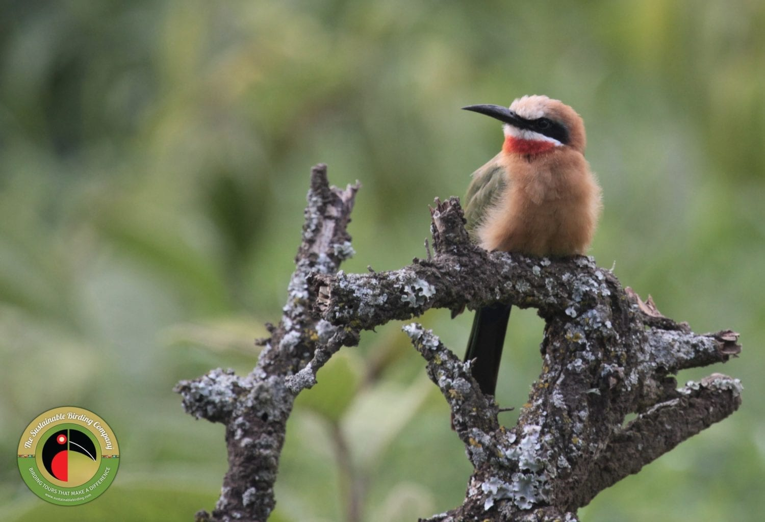 White-fronted Bee-eater seen on our Hell's Gate National Park Birding Tour