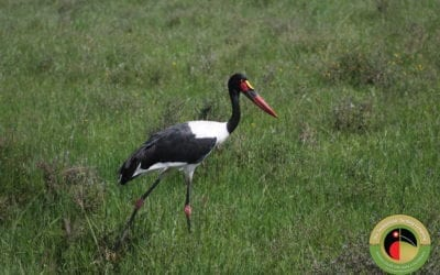 Saddle-billed Stork seen on our Nairobi National Park Tour!