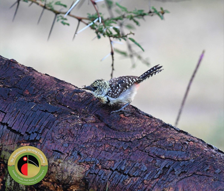 D'Arnaud's Barbet seen on a Samburu National Reserve Birding Tour