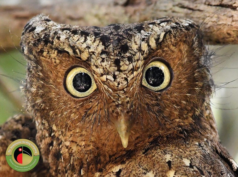 The endemic Sokoke Scops Owl seen on our Kenya Birding Tours