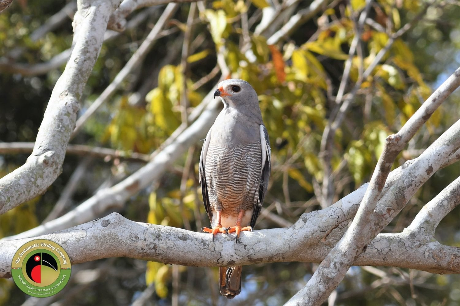 The Lizard Buzzard seen on ourWhat to expect on this Tsavo East National Park Birding Tour
