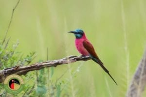 The stunning Northern Carmine Bee-eater seen on our Tsavo East National Park Birding Tour