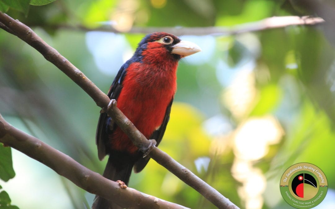 Double-toothed Barbet seen on our Uganda Birding Tours