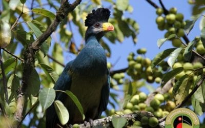 The mighty Great Blue Turaco!
