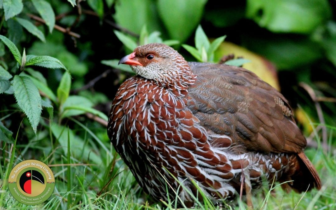 The Jackson's Francolin can only be found in Kenya and Uganda on our birding tours