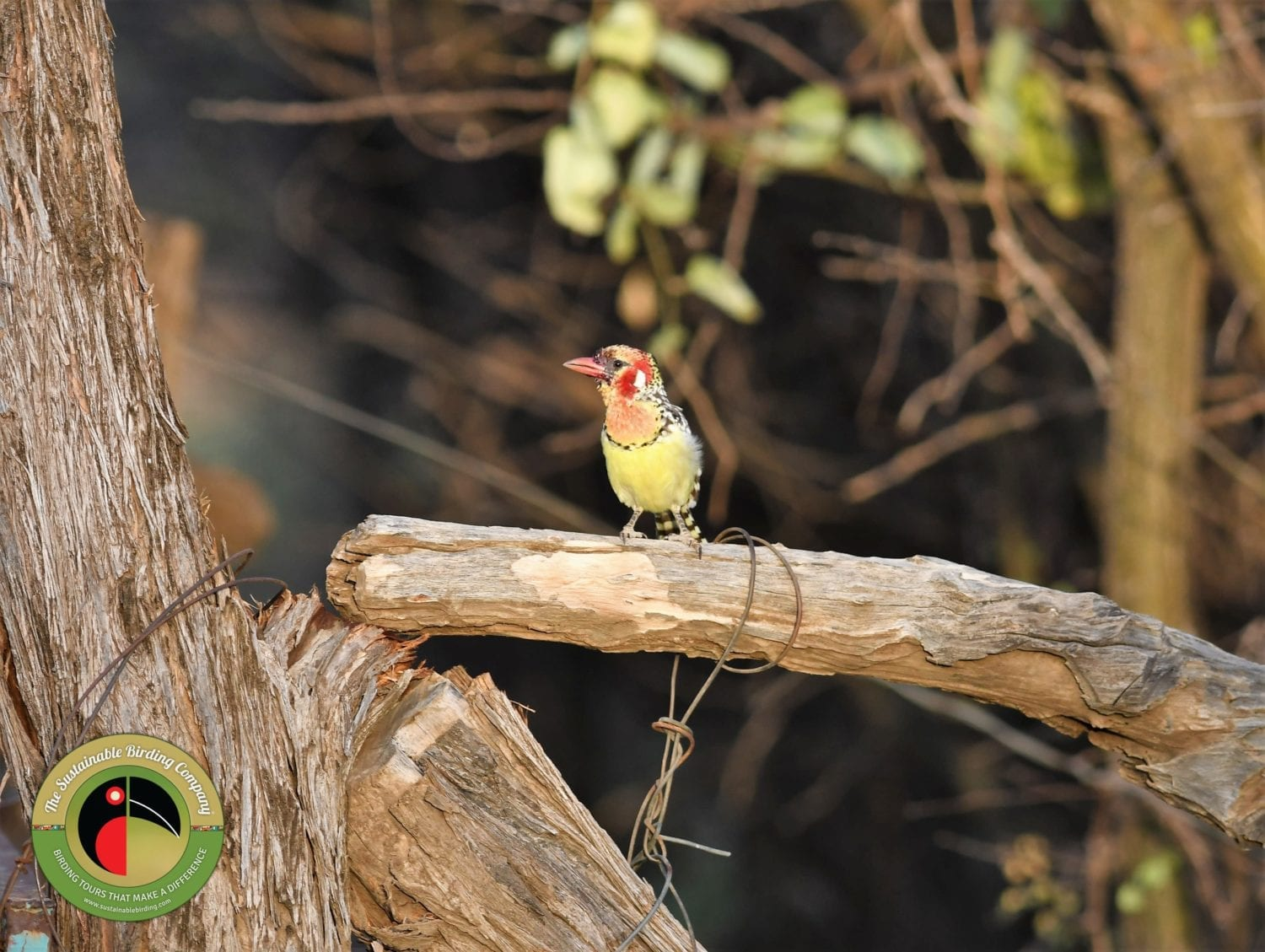 The cheeky Red-and-yellow Barbet seen on our Uganda Birding Tours