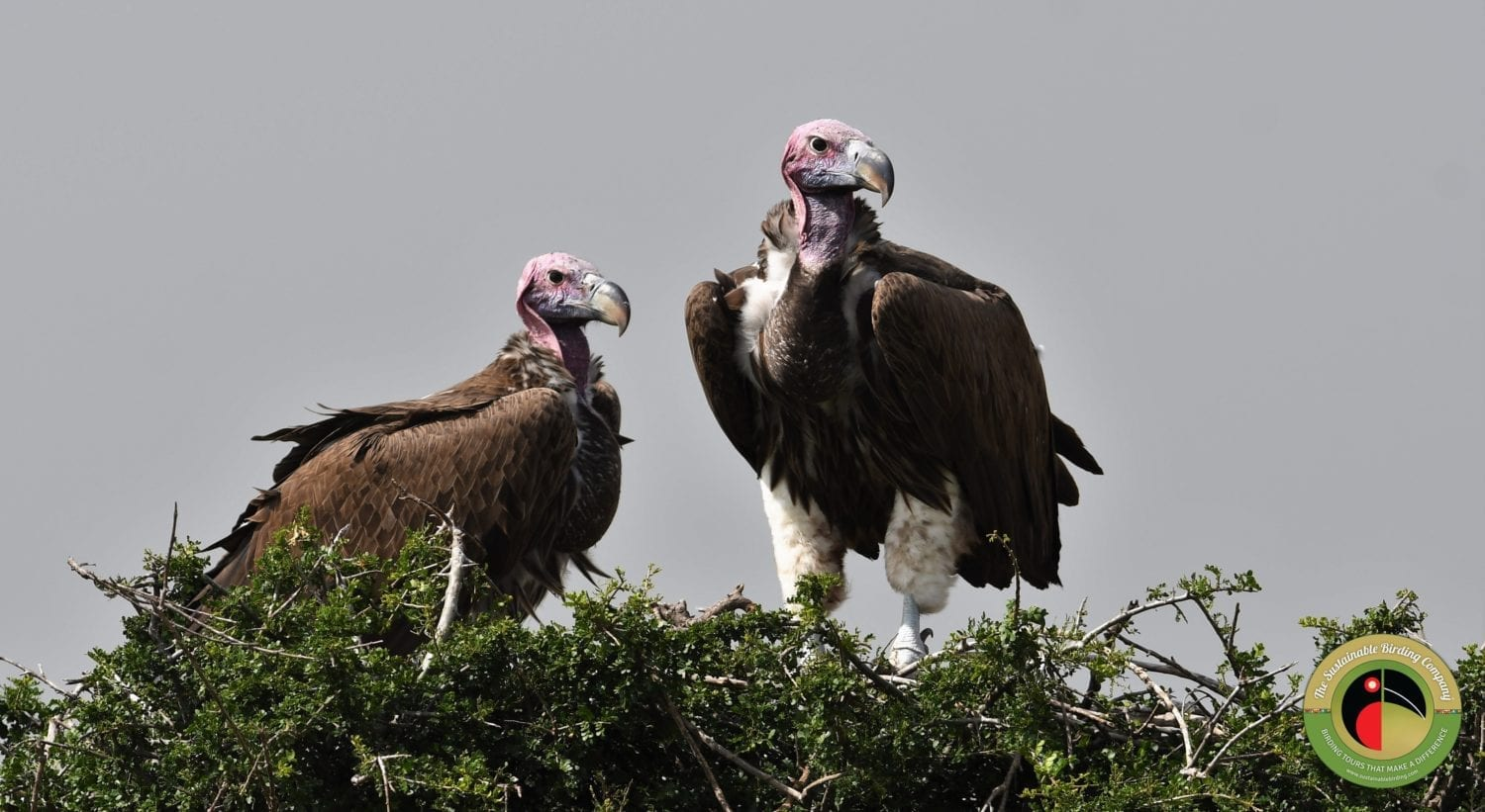 Lappet-faced Vulture seen on our Uganda Birding Tours